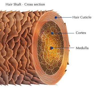 understanding the hair cuticle